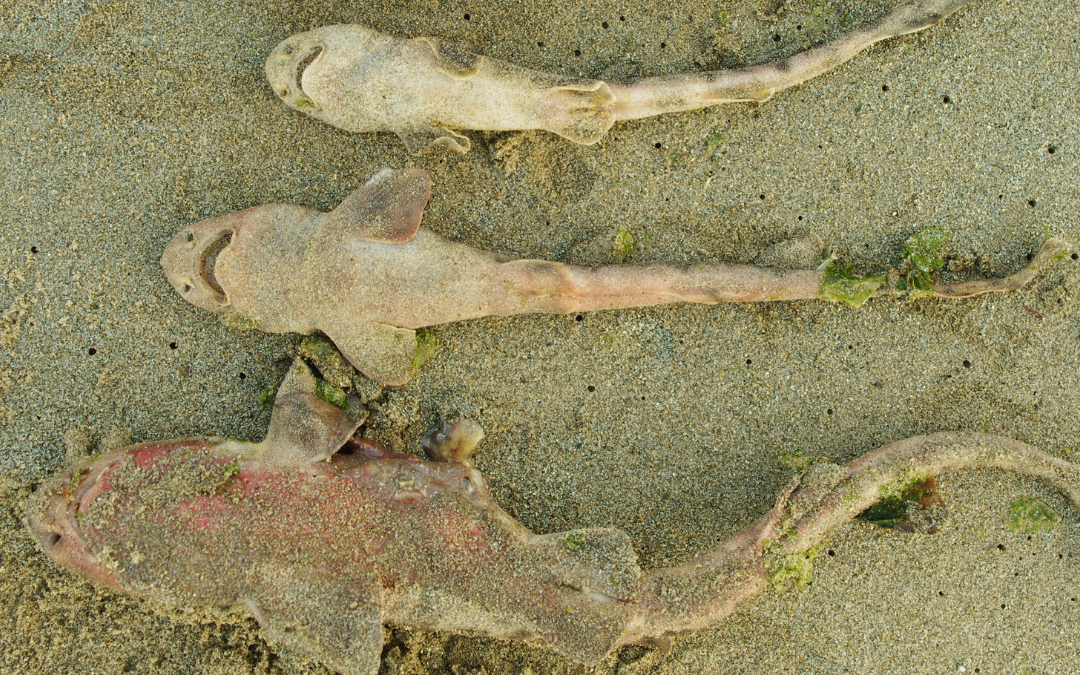 Más de 10 especies marinas juveniles vararon en playas de Dichato