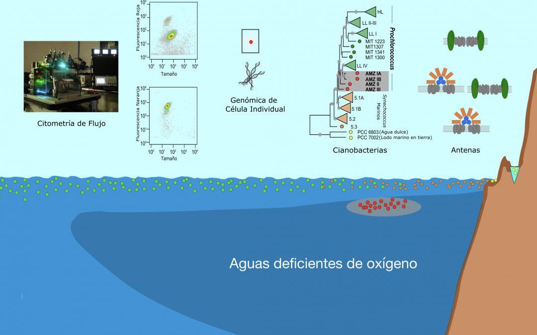 """Investigadores IMO descubren """"eslabón perdido"""" de los organismos fotosintéticos  más abundantes del planeta"""