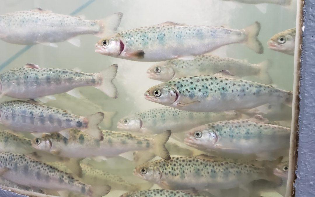 Estudio INCAR identificó y evaluó el rol de lncRNAs en el proceso de esmoltificación de salmón del Atlántico